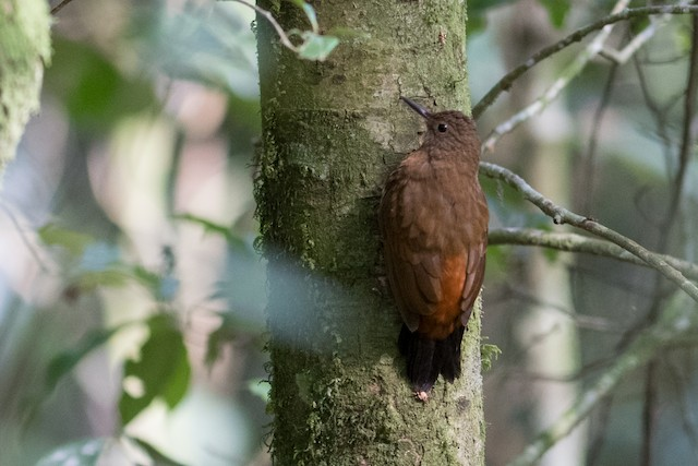 Rufous-breasted Leaftosser (Rufous-breasted)