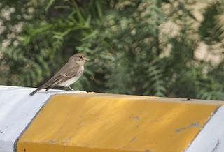 - Gambaga Flycatcher