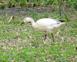Snow Goose, ML102862011