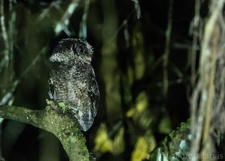 - Everett's Scops-Owl