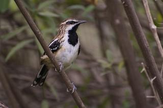 - Stripe-backed Antbird