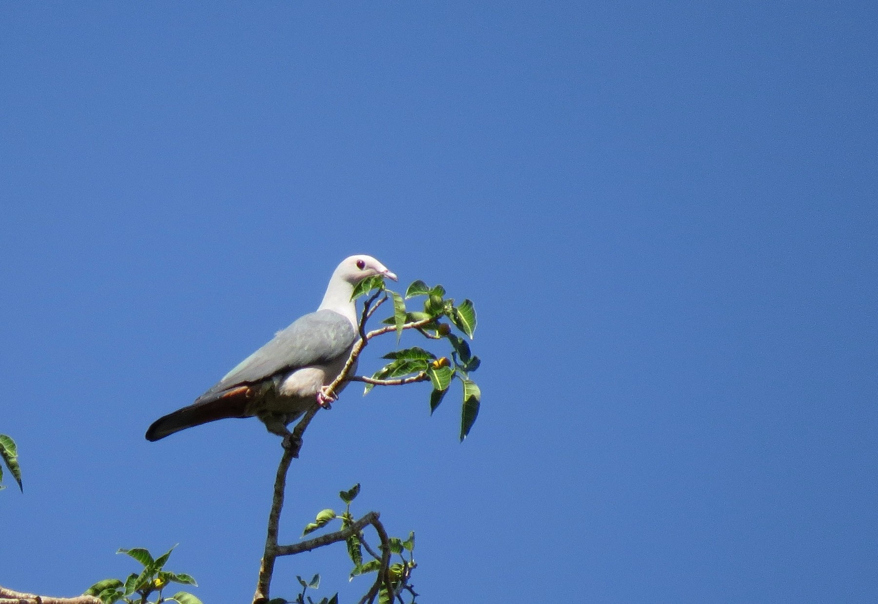 Pink-headed Imperial-Pigeon - Mark Smiles