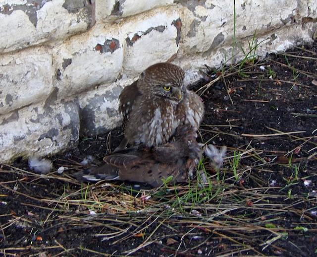 Austral Pygmy-Owl