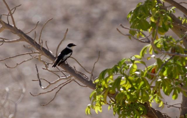 Semicollared Flycatcher