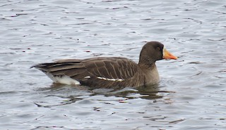 Greater White-fronted Goose, ML103480691