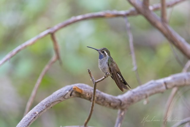 Blue-throated Mountain-gem