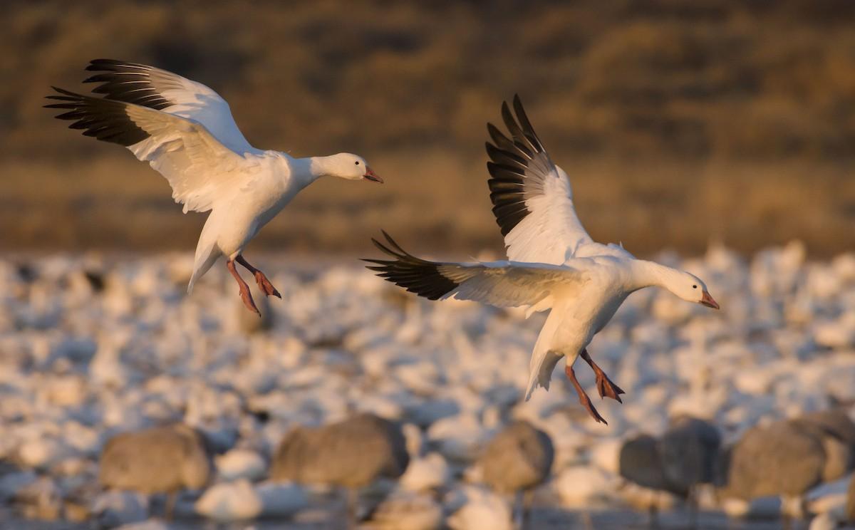Snow Goose ML103511171