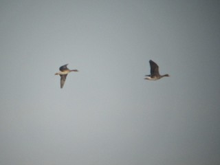 Greater White-fronted Goose, ML103680811