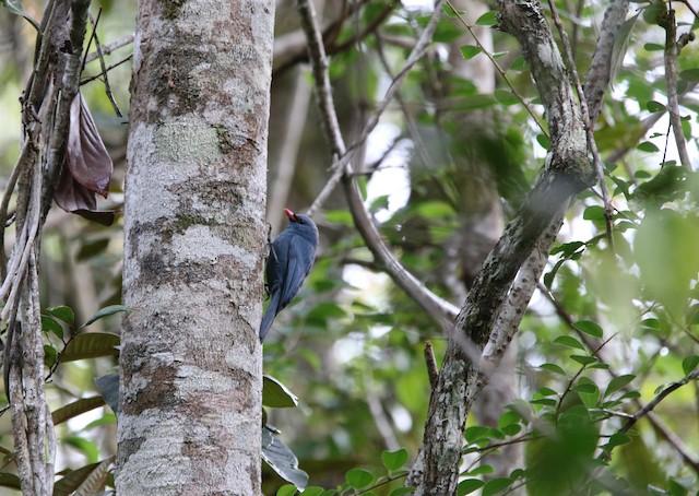 Male Nuthatch-Vanga clinging to tree.