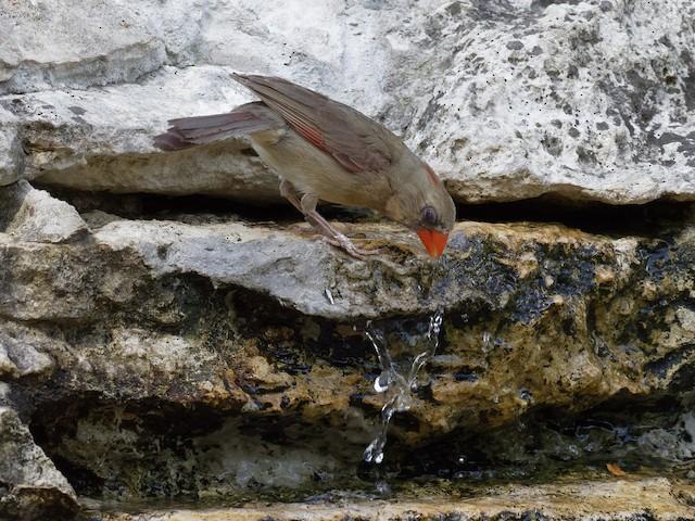 Female Northern Cardinal drinking.