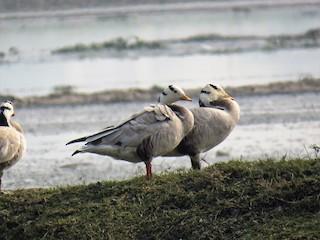 Bar-headed Goose, ML103892831