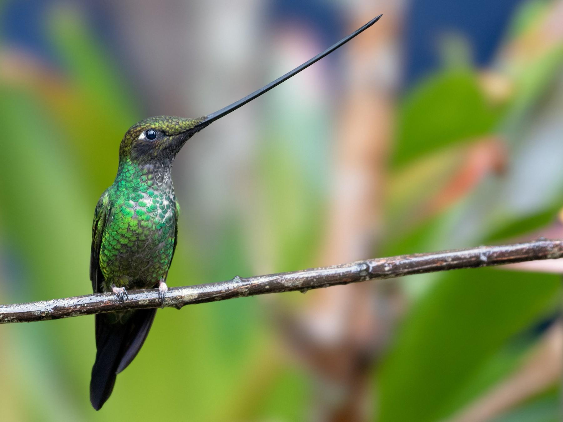 Sword-billed Hummingbird - Drew Weber