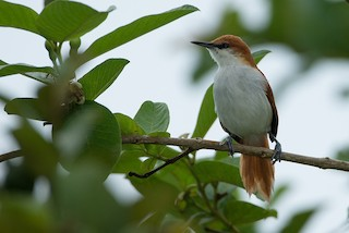 - Red-and-white Spinetail