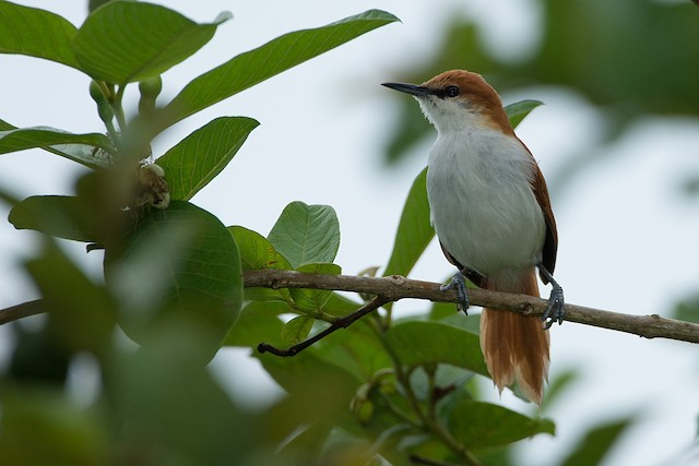 Red-and-white Spinetail