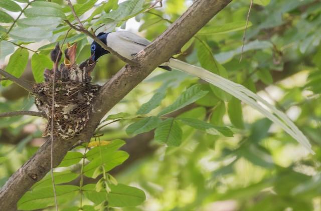 Amur Paradise-Flycatcher