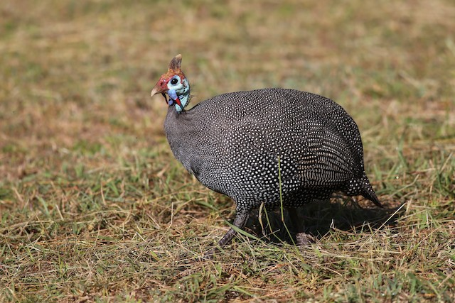 Helmeted Guineafowl (Tufted)
