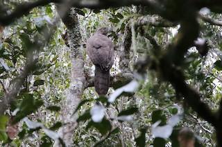- Madagascar Serpent-Eagle