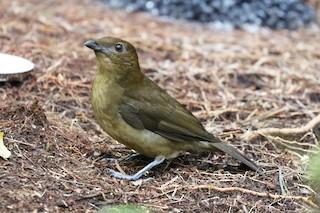 - Vogelkop Bowerbird