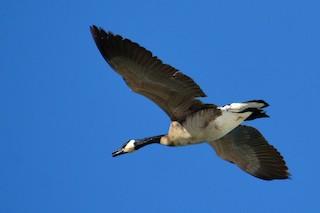 Canada Goose, ML104301901