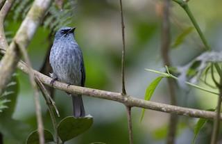 - Turquoise Flycatcher