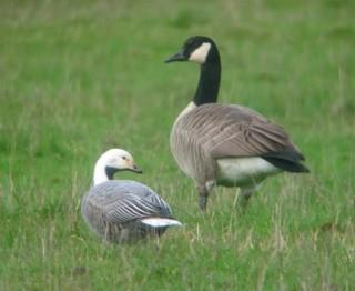 Emperor Goose, ML104585381