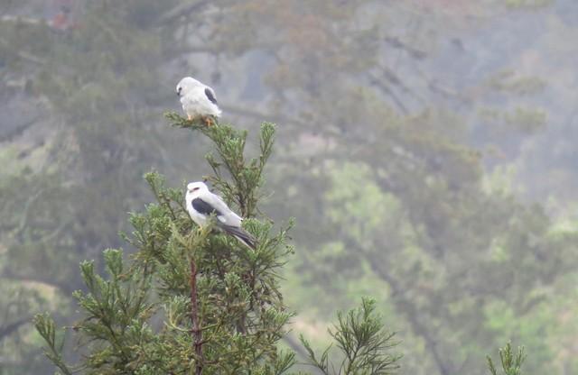 White-tailed Kite