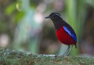 - Black-crowned Pitta