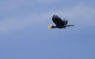 - Black Hornbill