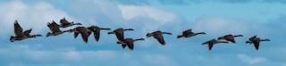 Canada Goose, ML104828501
