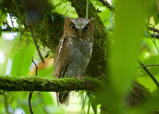 - Flores Scops-Owl