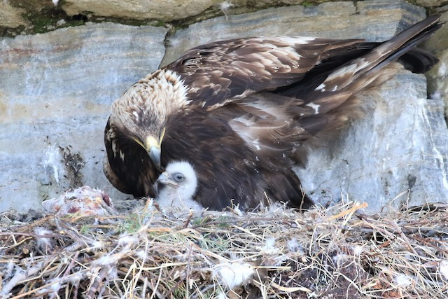 Adult with nestling at nest.