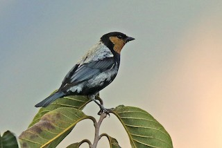 - Silvery Tanager