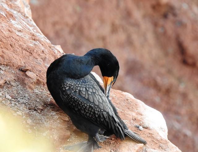 Double-crested Cormorant ML104949081