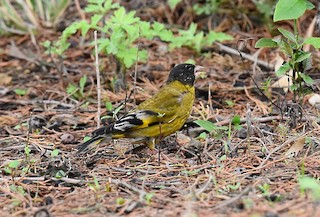 - Black-headed Greenfinch