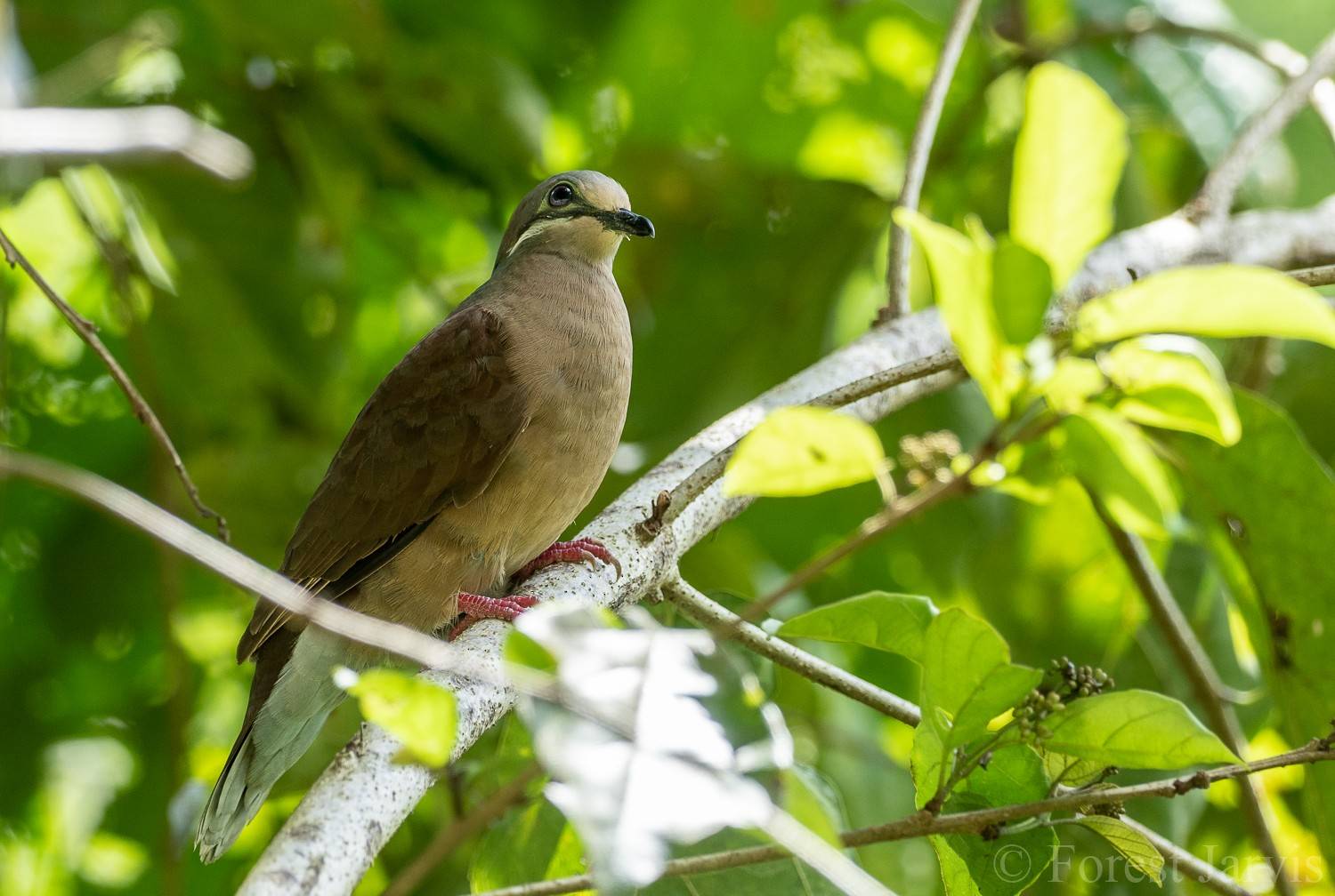 White-eared Brown-Dove - Forest Jarvis