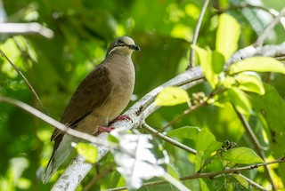 - White-eared Brown-Dove