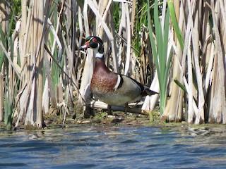 Wood Duck, ML104977011