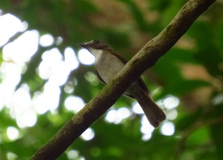 - Gray-chested Jungle-Flycatcher