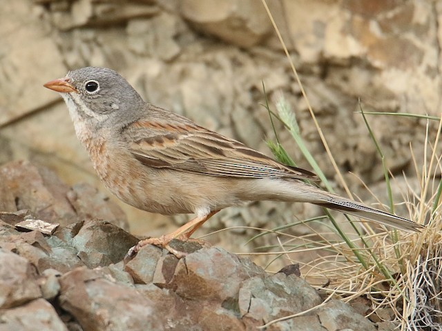 Gray-necked Bunting