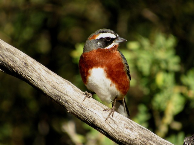 Black-and-chestnut Warbling-Finch