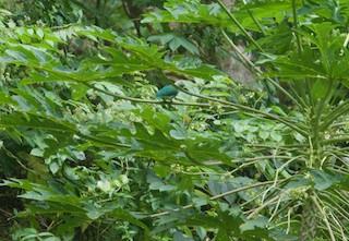 Gray-green Fruit-Dove
