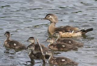 Wood Duck, ML105236411