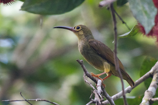 - Spectacled Spiderhunter
