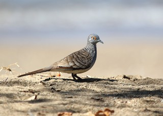 - Barred Dove