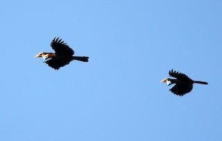 - Sumba Hornbill