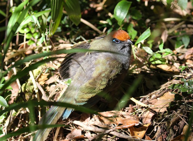 Red-fronted Coua