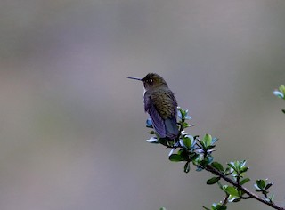 - Scaled Metaltail