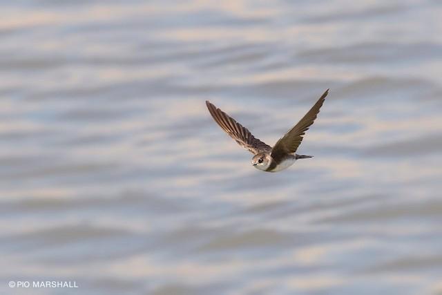©Pio Marshall - Bank Swallow
