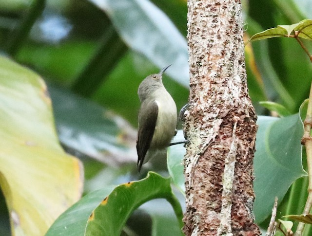 Spectacled Longbill