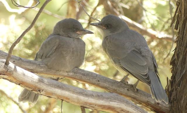 Juvenile Pinyon Jays.